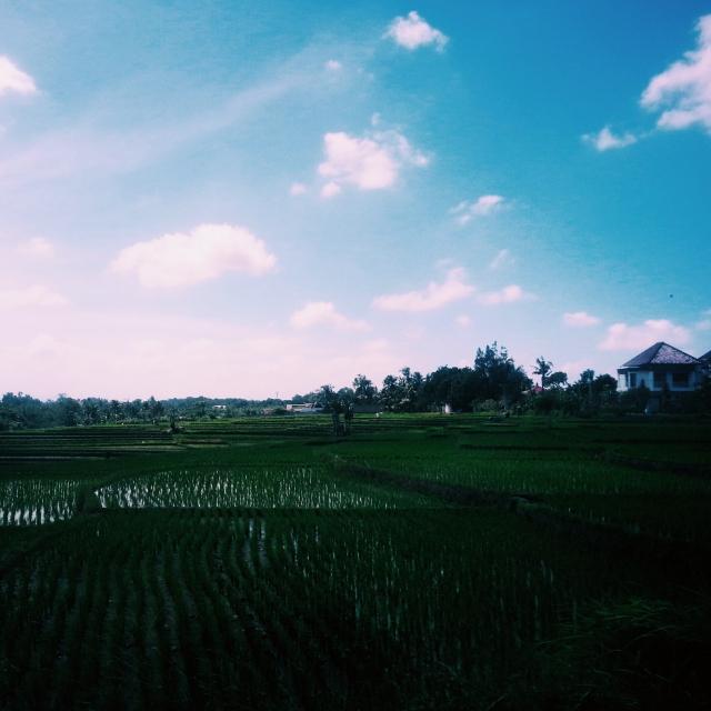 Balinese Rice Paddy Fields